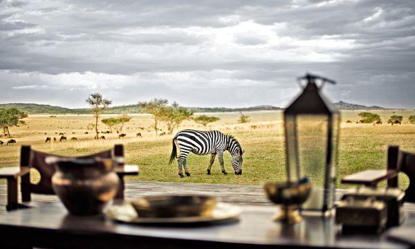 (c) Singita Lodges Koexistenz. Den wandernden  Gnus schließen sich auch die Zebras an.