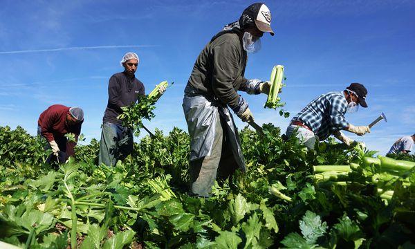Die US-Landwirtschaft (wie hier in Kalifornien) ist stark von den Billiglöhnen illegaler Einwanderer abhängig. / Bild: (c) APA/AFP/SANDY HUFFAKER