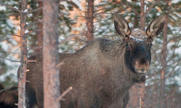 (c) CH – Visitnorway.com Bewohner. Elche sind scheue Wesen, ein Zufall, sie zu sichten.