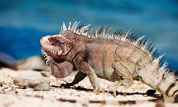 (c) Curaçao Tourist Board  Reiche Fauna. Im Nationalpark  leben viele Tier- arten, etwa der Grüne Leguan, der aber braun ist.