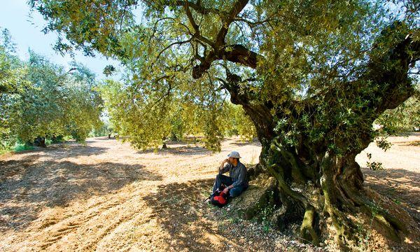 (c) Tourspain Alt. Manche der Olivenbäume rund um Sant Mateu sind 500 und mehr Jahre alt.