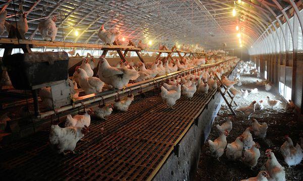 Der Feind der Hühner ist die Rote Vogelmilbe, die sich unter ihren Flügeln einnistet und das Blut der Tiere saugt. / Bild: Die Presse, Clemens Fabry