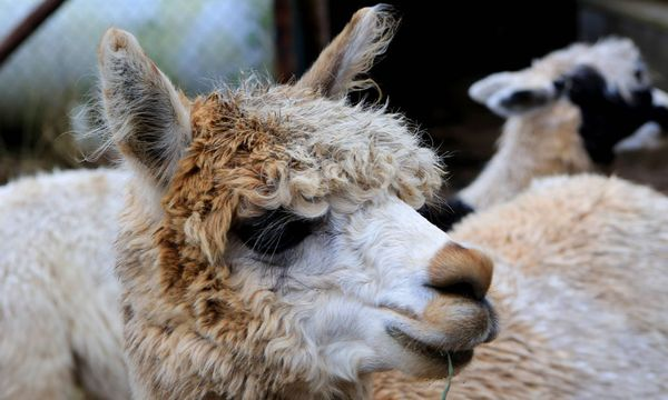 Lama / Bild: Imago (Manngold)