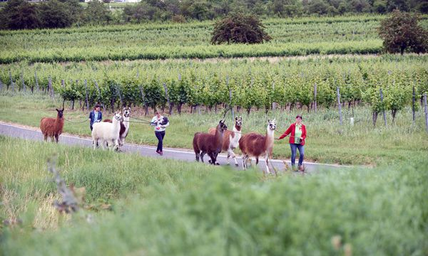 Wandern mit Lamas ist besonders entspannend. / Bild: (c) Die Presse (Clemens Fabry)