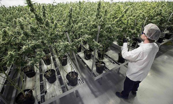 Eine Cannabis-Plantage. / Bild: APA/AFP/LARS HAGBERG
