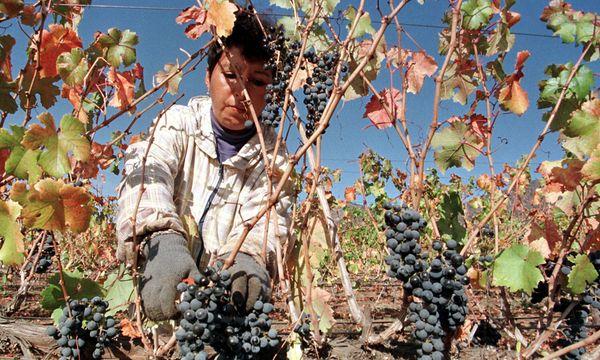 Carmenere-Ernte in Chile / Bild: Reuters