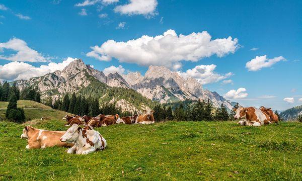 (c) SalzburgerLand Tourismus/Achim Meurer Alpine Kulisse. Ringsum Kuhalmen, überall Steinberge.