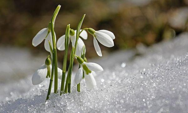 Schneeglöckchen: Boten neuer Blüte. / Bild: Pixabay/sunflair