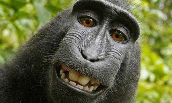 Makaken-Selfie: Eigentlich eine Erfolgsstory - wenn da nur nicht das Problem mit dem Urheberrecht wäre. / Bild: David Slater