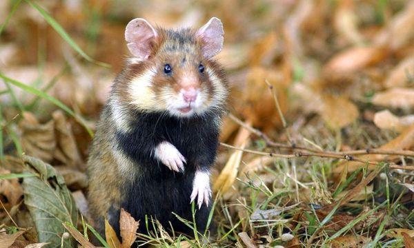Hamster  / Bild: ORF/ Universum 'Es lebe der Zentralfriedhof'