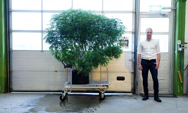 Auch diese Pflanze wurde im Labor gezüchtet – vor knapp drei Monaten. / Bild: (c) Clemens Fabry