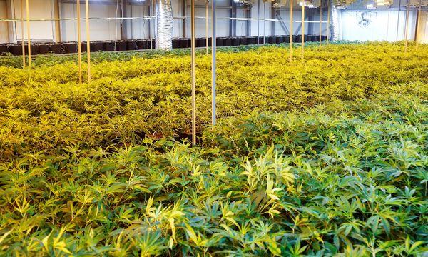 Marihuana boomt / Bild: REUTERS