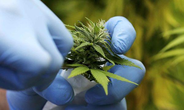 Symbolbild: Cannabis  / Bild: REUTERS