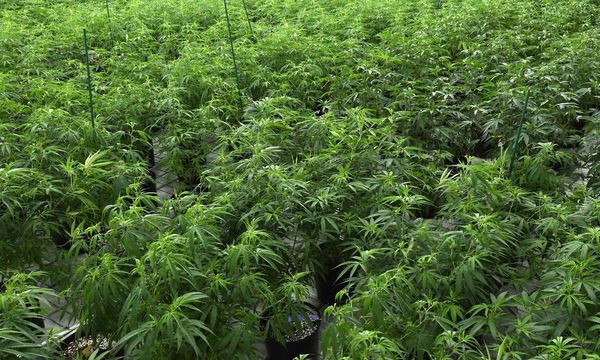 Cannabis-Boom in Kalifornien erwartet / Bild: APA/AFP/GETTY IMAGES/Ethan Mille