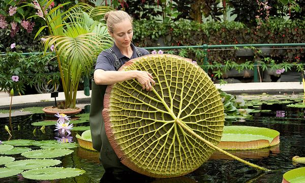 """RBG Kew London. Die Royal Botanic Gardens, die """"Kew Gardens"""" im Südwesten der britischen Hauptstadt, zählen zu den ältesten botanischen Gärten der Welt. Ursprünglich waren sie Lustgärten, später fungierten sie allmählich als botanische Gärten. Seit 2003 gehören sie zum Unesco-Weltkulturerbe. In ihren Beeten und Gewächshäusern wachsen und gedeihen über 30.000 Pflanzenarten."""