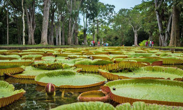 flickr/Tom Ward (CC BY 2.0) Mauritius. Sir Seewoosagur Ramgoolam Botanical Garden, so der leicht sperrige offizielle Name. Oder auch: Botanischer Garten Pamplemousses.  Jedenfalls gilt er als der älteste in der südlichen Hemisphäre. Ursprünglich wurde er zum Gewürzanbau angelegt. Der französische Gartenexperte Pierre Poivre kultivierte ihn 1770 zum botanischen Garten. Berühmt: die riesigen Seerosen.