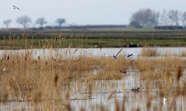 Der Schilfgürtel liegt zumeist in der Schutzzone des Nationalparks. / Bild: APA