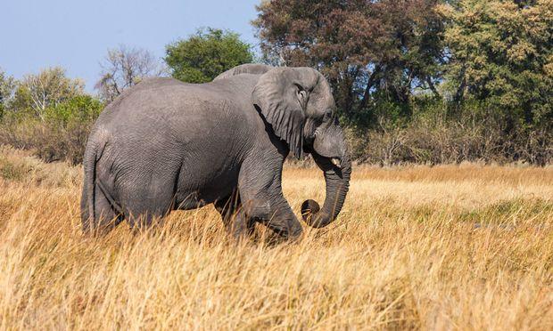 Das Feuchtgebiet ruft viele Tiere auf den Plan – und diese wiederum Safariuraluber nach Botswana.