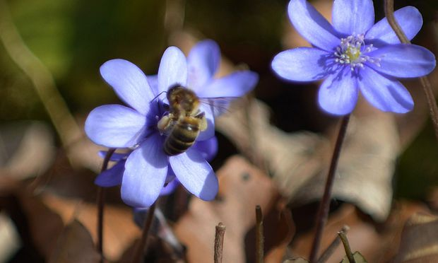 Bienensterben Misstrauensantrag gegen Berlakovich