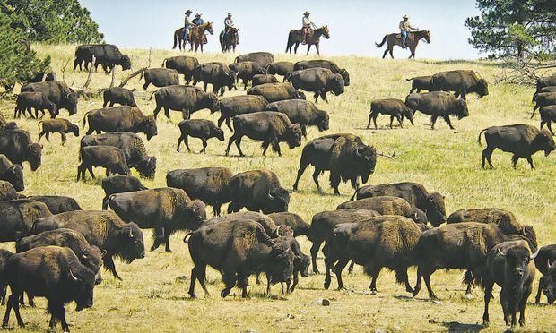 Groß: Die Population der Bisons wächst wieder, Farmer beginnen umzudenken.