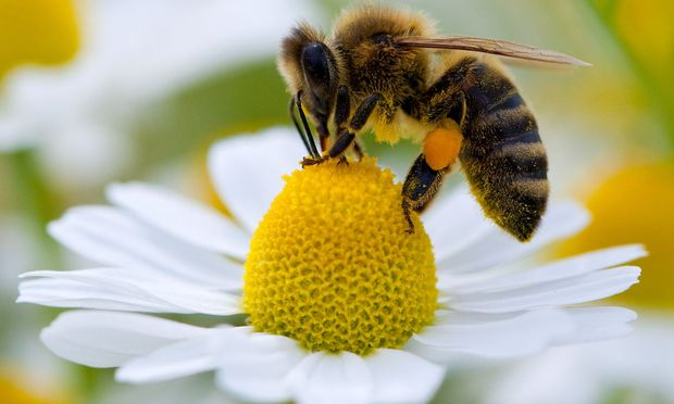 """Rettet Die Bienen: """"Rettet Die Bienen"""": Ein Insekt Mobilisiert Die Massen"""