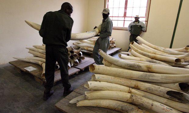 Jedes Jahr werden in Afrika 20.000 Elefanten wegen des Elfenbeins illegal gejagt