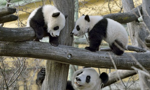 PANDA-ZWILLINGE ERKUNDETEN ERSTMALS DIE SCHOeNBRUNNER AUSSENANLAGE