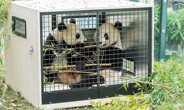 Nach China geht es erst im Dezember, aber schon jetzt werden die Pandas an die Transportkiste gewöhnt.