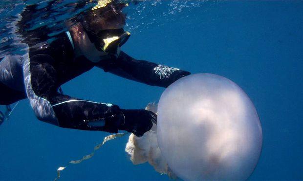 Maßarbeit: Die Quallenart Rhizostoma luteum kann in der Natur bis zu 70 Zentimeter groß werden. Hier vermisst Meeresforscherin Karen Kienberger in Spanien ein Exemplar.