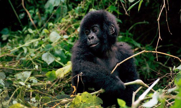 In Lesio-Louna werden Gorillawaisen großgezogen und in freier Wildbahn angesiedelt.