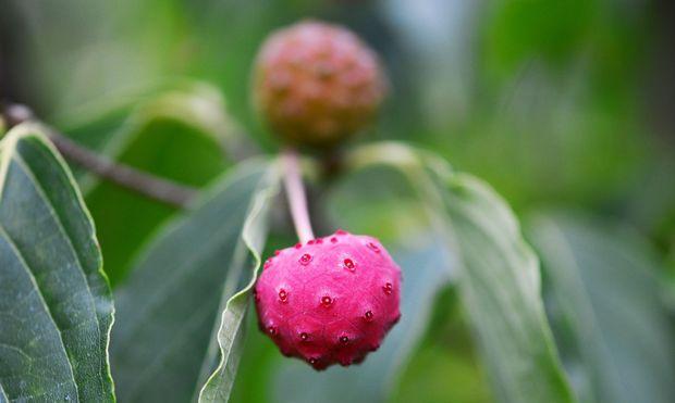 Aus Früchten des Blumenhartriegels bereitet man in Asien Marmeladen, Gelees und Liköre.