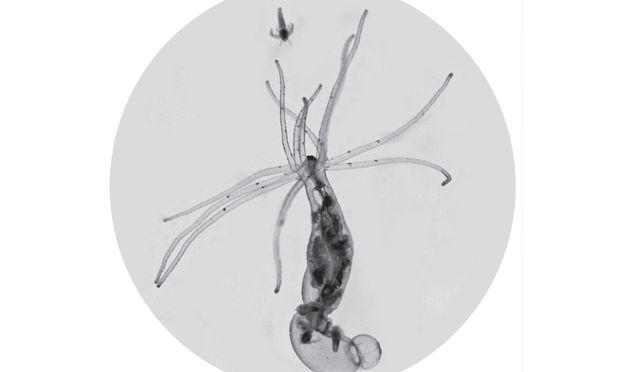 Ein Salinenkrebs (oben) dient als Futter für die Seeanemone Nematostella vectensis.