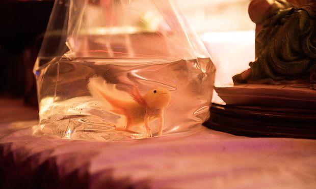 Teenager. Ein Axolotl wird nicht erwachsen: eine lebende Metapher für Hegemanns Figur Mifti.