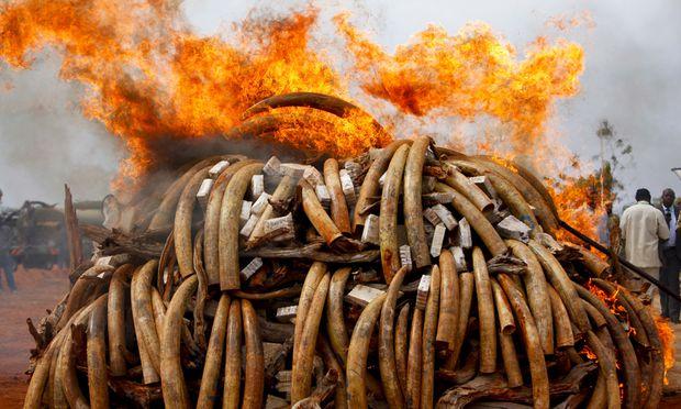 Vernichtung von Elfenbein: In Kenia werden beschlagnahmte Stoßzähne verbrannt.