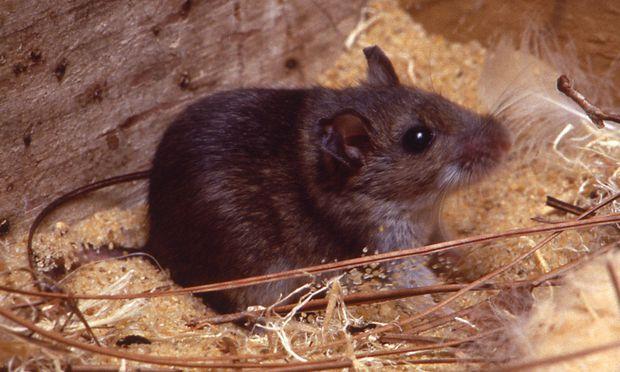 Symbolbild: Eine Maus.