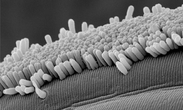 Die stäbchenförmigen Bakterien verlieren auch bei der Zellteilung nie den Kontakt zur Oberfläche des Wurms.