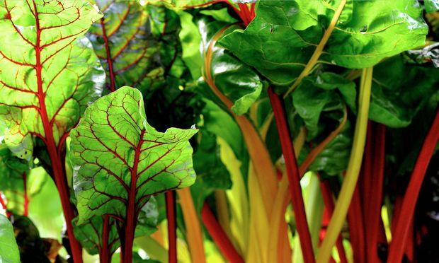 Mangold lässt sich ohne viel Aufwand auch im Winter anbauen.