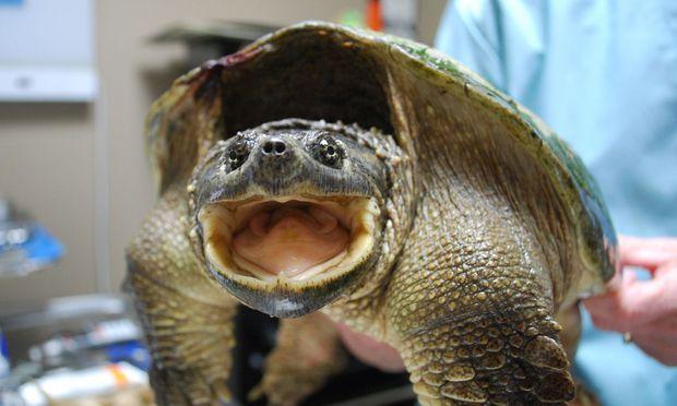 Eine Schnappschildkröte im Trauma-Zentrum. 70 Prozent der Patienten können wieder ausgesetzt werden.