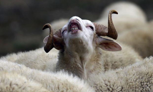 Penisse islaendischer Schafe Delikatesse