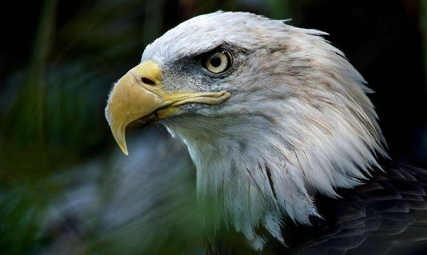 Der Weißkopfseeadler, das Wappentier der USA, profitierte von dem Gesetz.
