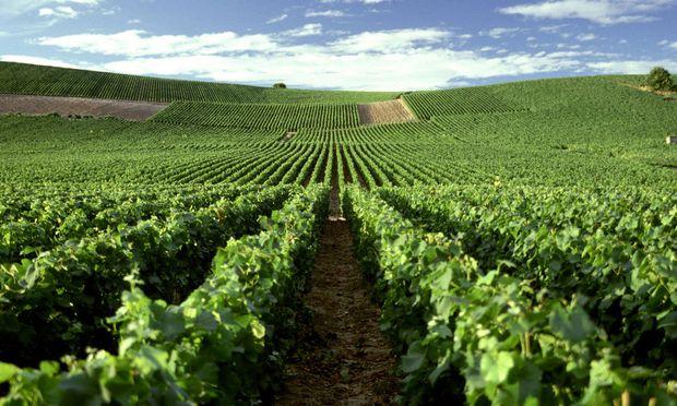 Themenbild: Weinanbau in der Champagne