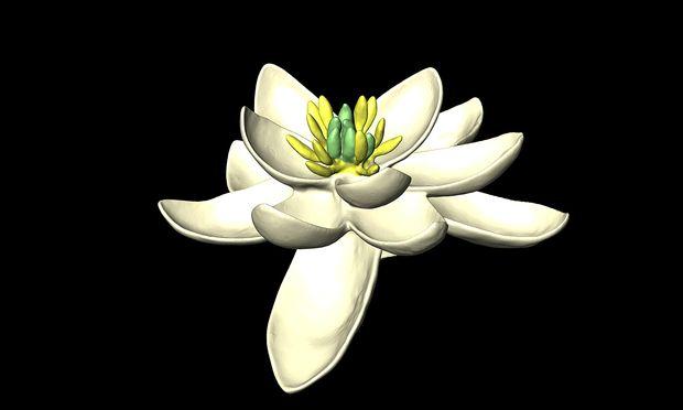 Urblüte: Ihre Blütenorgane (zweigeschlechtlich) sind in Dreierkreisen angeordnet.
