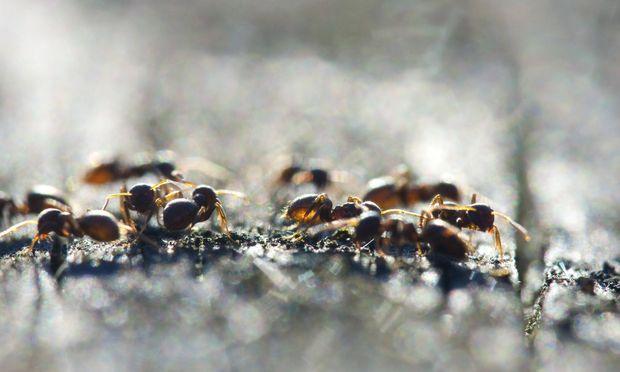 Duftspuren dienen den Ameisen zur Orientierung.