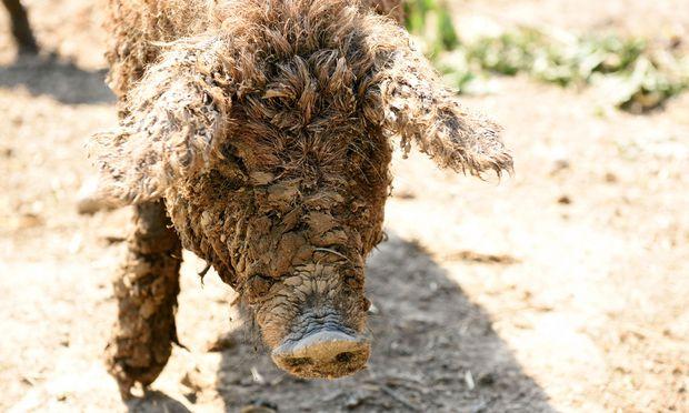 Am Biohof Nr. 5 leben Mangalitzaschweine neben Hühnern.