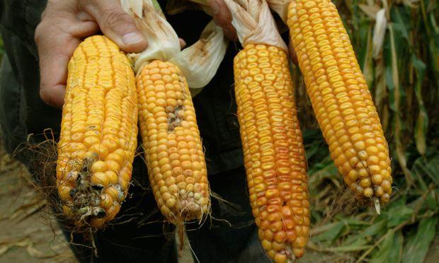 Beruehrungsaengste MonsantoMais