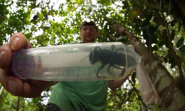 Die Biene mit dem lateinischen Namen Megachile pluto ist rund vier Mal so groß wie eine Honigbiene