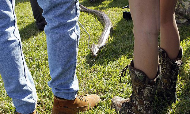 Florida blaest Jagd Pythons