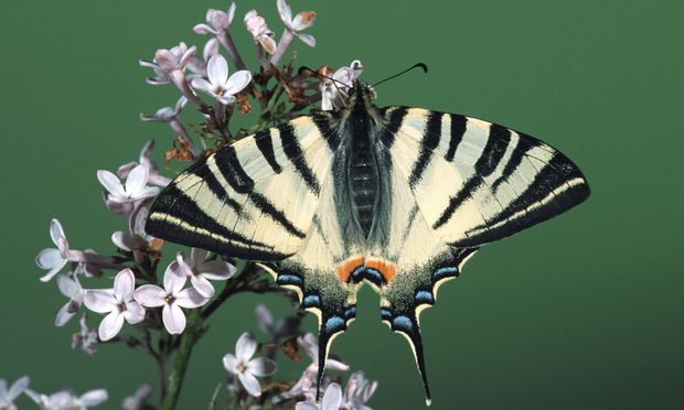 Schmetterlinge, wie hier im Bild ein Segelfalter, gibt es in Österreich seit rund 40 Jahren immer weniger.