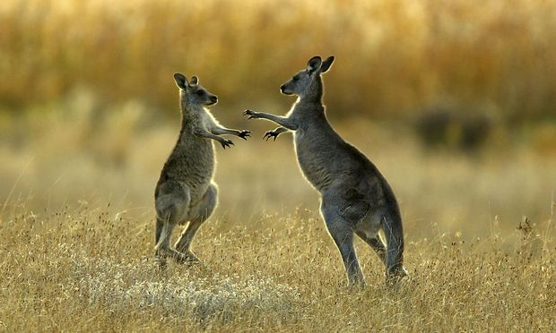 File photo of two juvenile kangaroos fighting in Namagi National Park near Canberra