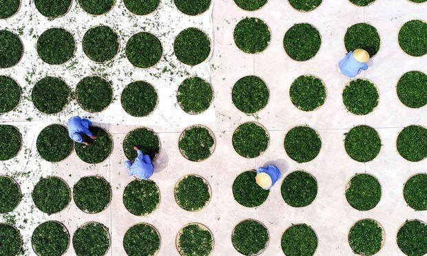 Chinesische Arbeiter in einer Anlage zur Trocknung von Gingkoblättern für die Teeproduktion: Nicht jede Form der Arbeit soll gerettet werden, sondern vielmehr das, was an Arbeit wertvoll ist und für sozialen Zusammenhalt sorgen kann.